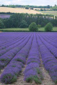 lavender-field-1180282